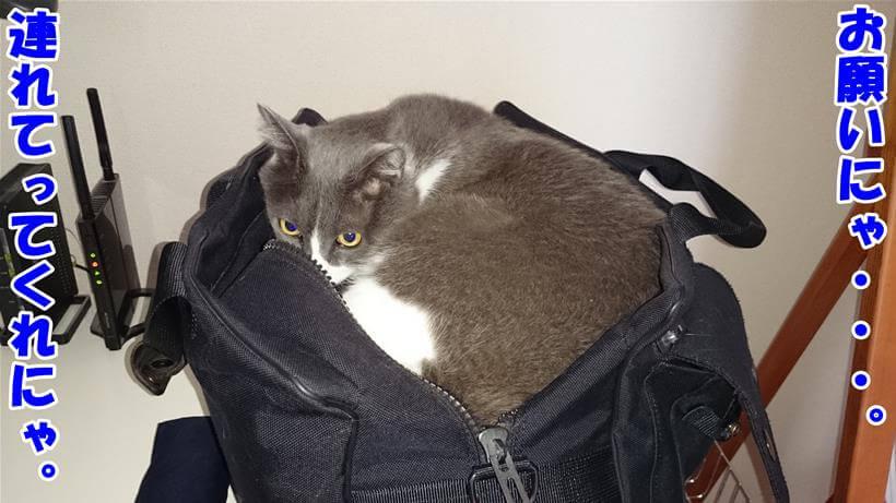 連れて行ってくださいと言っている体で鞄の中に入っている愛猫モコ