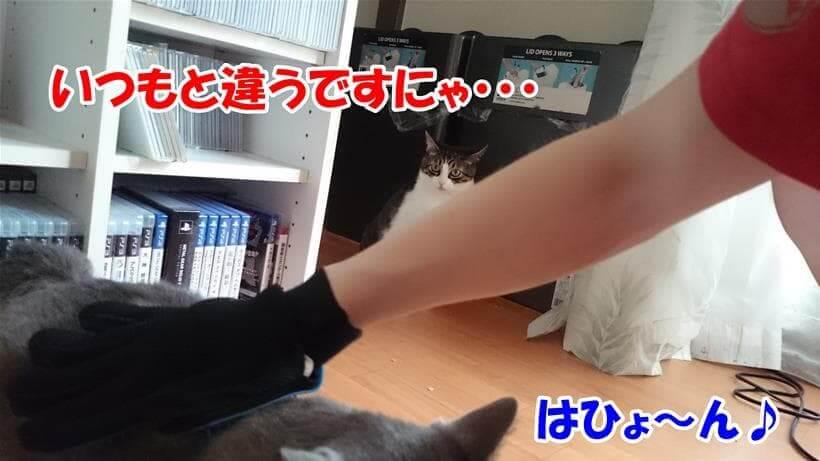 ラバータイプのグローブ型ブラシでブラッシングされている愛猫モコ