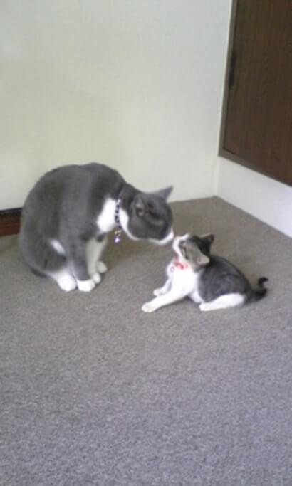 キスする先住猫モコと子猫期の愛猫ミミ