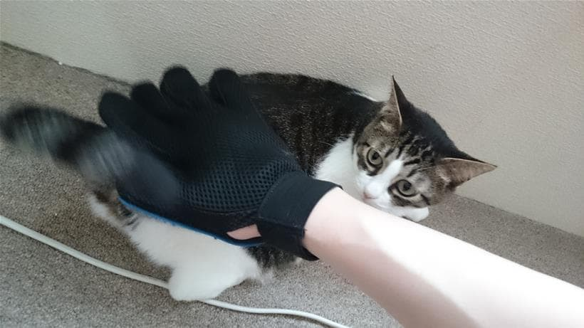 グローブ型ブラシでお尻を叩きながらブラッシングされる愛猫ミミ