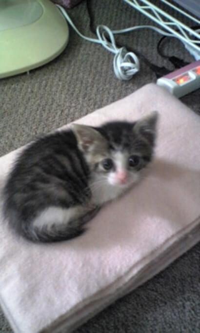 毛布の上で縮こまる子猫期の愛猫ミミ