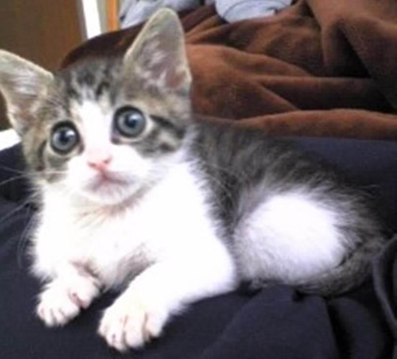 飼い主の膝上に乗る子猫期の愛猫ミミ