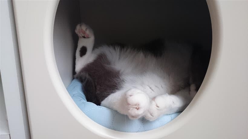 ペットハウス「オアシス」内でへそ天している愛猫モコ