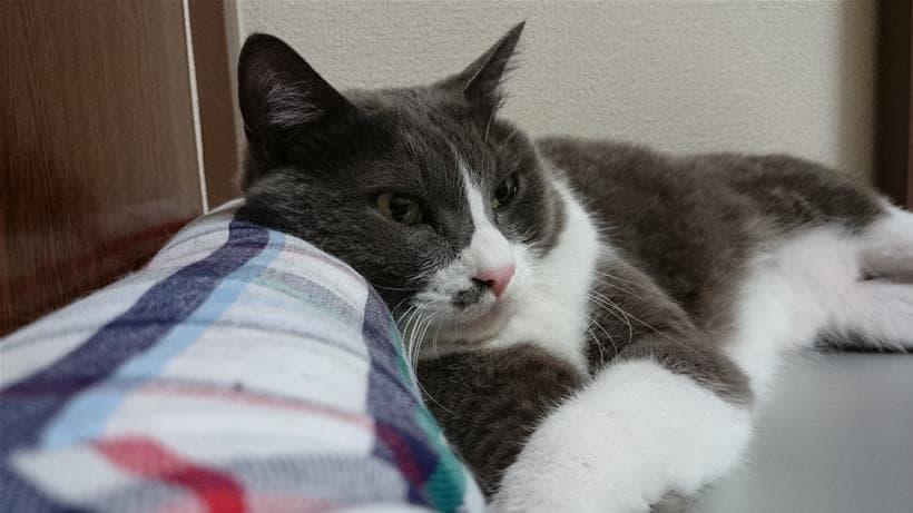 ひんやりプレート用ベッドのアゴ置きを活用する愛猫モコ