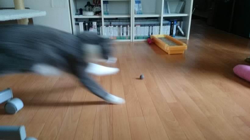 自分の抜け毛を丸めた毛玉のボールで遊ぶ愛猫モコ②