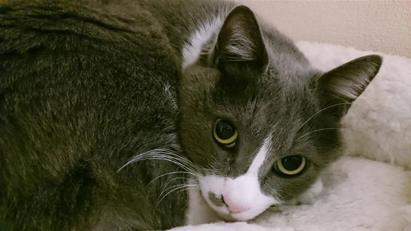 てんかん発作を起こした後の愛猫モコ