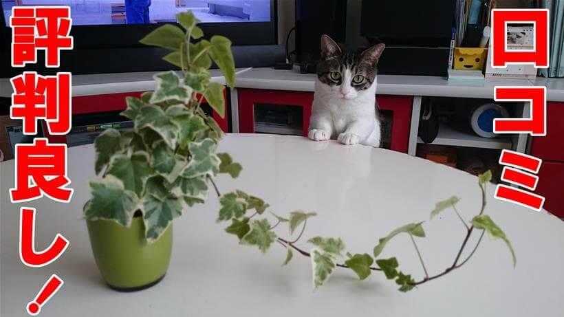 口コミの評判が良いと言い切る体の愛猫ミミ