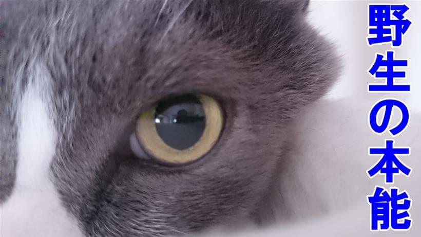 愛猫モコの野生感溢れる目