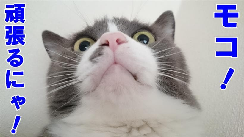 てんかんでも頑張ると意気込んでいる体の愛猫モコ