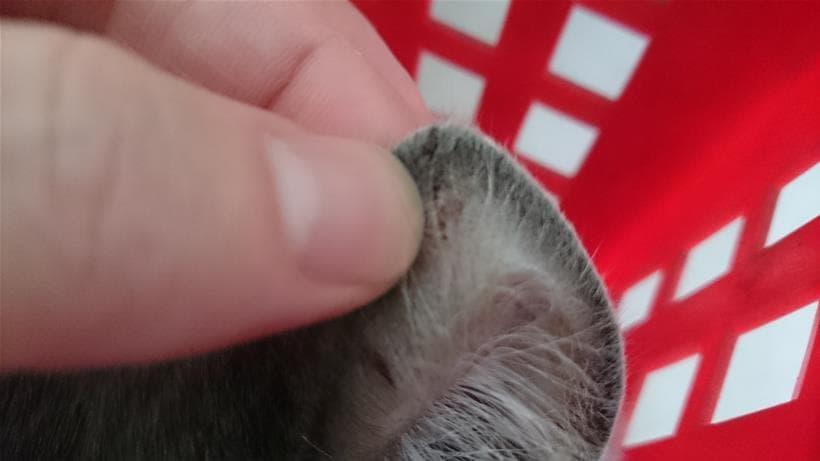 てんかんの発作時に耳を怪我した愛猫モコ
