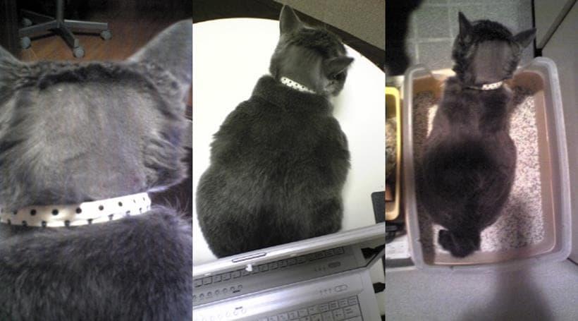 後頭部の毛を剃って脳脊髄液検査を受けた後の愛猫モコ