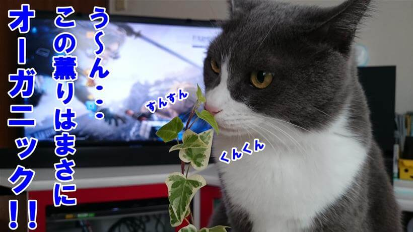 オーガニックの香りがするという体で観葉植物を嗅ぐ愛猫モコ