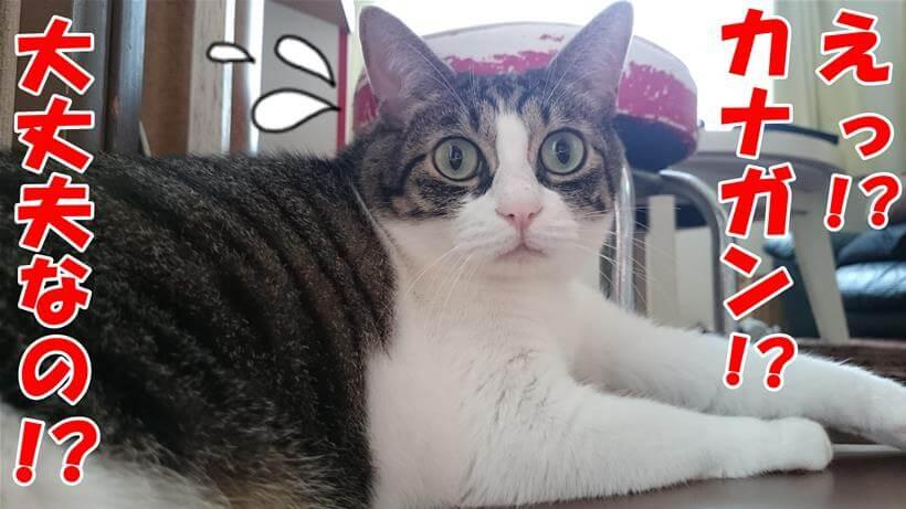 カナガンと聞いて少し心配する体の愛猫ミミ