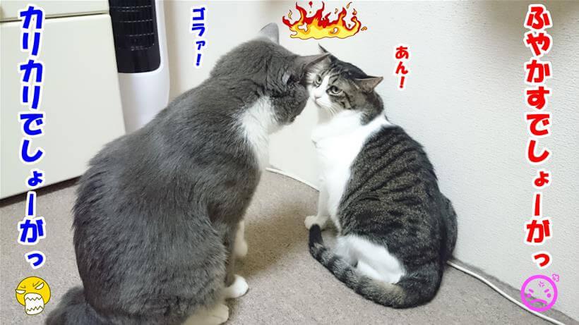 カリカリのまま食べるかふやかして食べるかで対立している体の愛猫たち