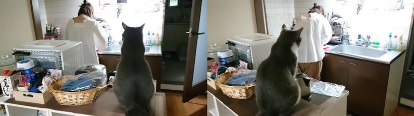 料理をしている彼女を監視している愛猫モコ