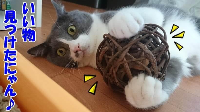 良いものを見つけた!と言っている体でマタタビボールを抱える愛猫モコ