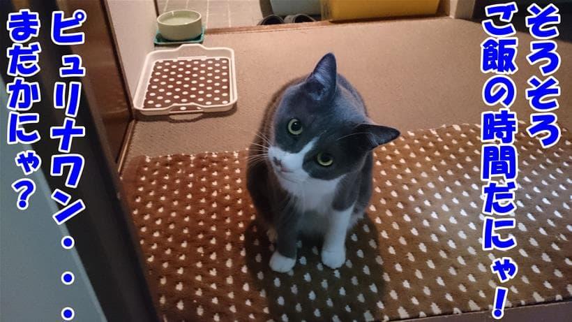 ご飯(ピュリナワン)待ちをしている愛猫モコ