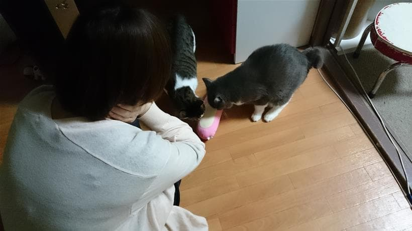 彼女のお土産である蹴りぐるみに興味津々な愛猫モコとミミ