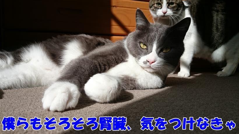 高齢期に差し掛かって腎臓など健康への配慮が必要となる愛猫たち
