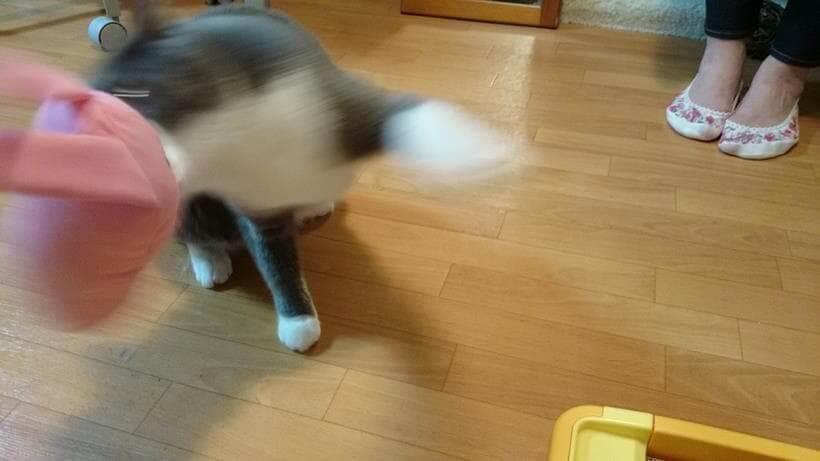 彼女に貰った蹴りぐるみで遊ぶ愛猫モコ