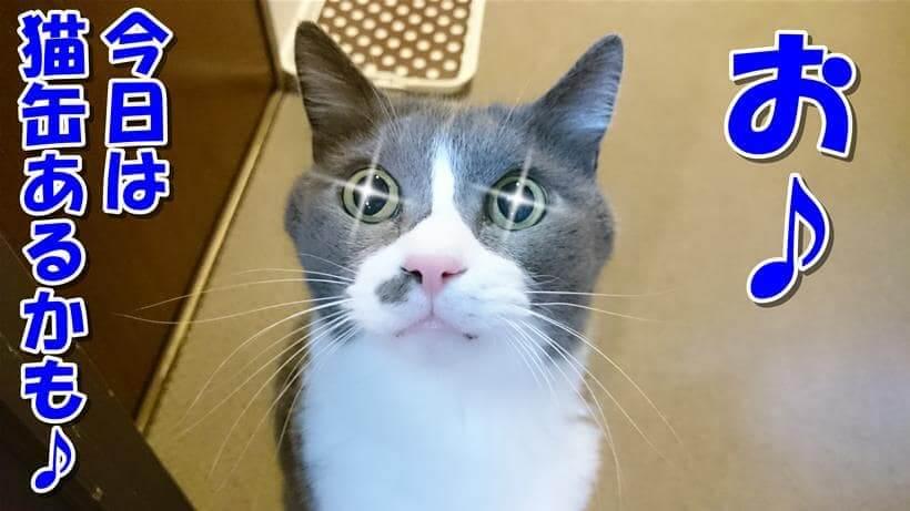 大好きな猫缶(ウェットフード)があるかもしれないと期待している愛猫モコ
