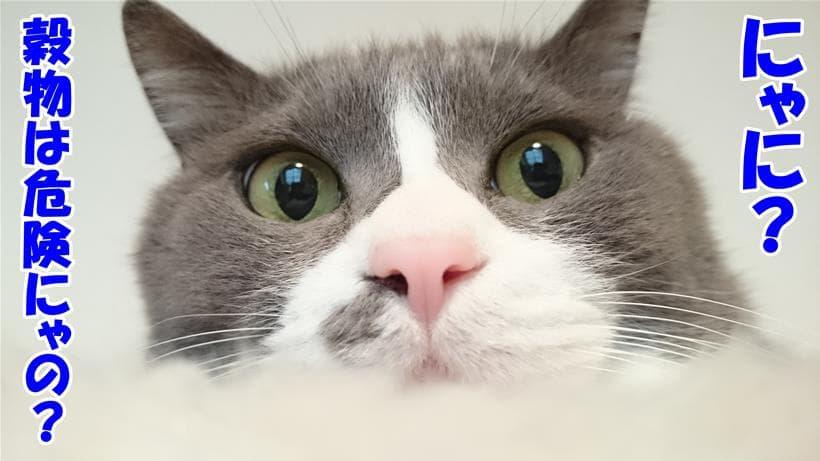 猫にとって穀物が危険だと極端に認識しかけている体の愛猫モコ