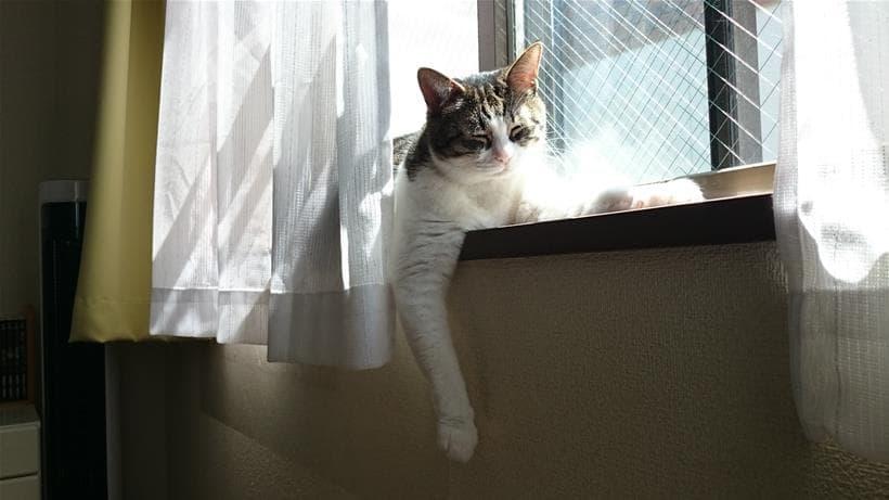 眠さでだらしないスフィンクス座りになってしまっている愛猫ミミ