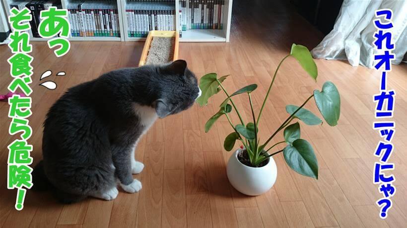 オーガニックだと勘違いしている体で観葉植物を匂う愛猫モコ