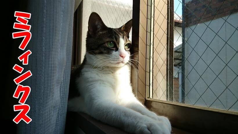 綺麗なスフィンクス座りをする愛猫ミミ