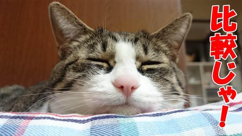 ピュリナワンの「比較じゃ」と言っている体の愛猫ミミ