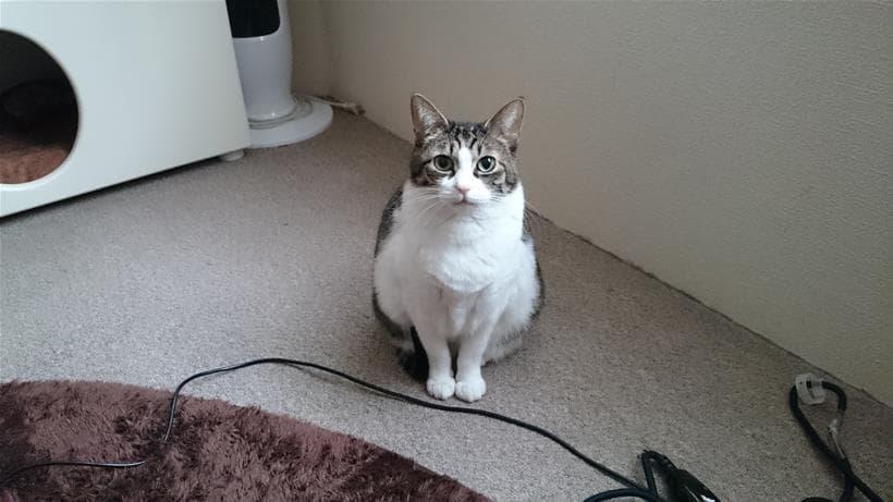 エジプト(三つ指)座りしている愛猫ミミ