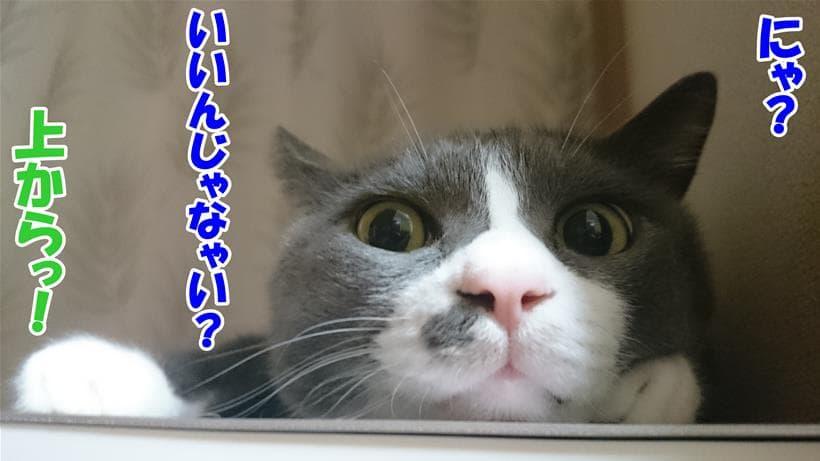 上から目線の体の愛猫モコ