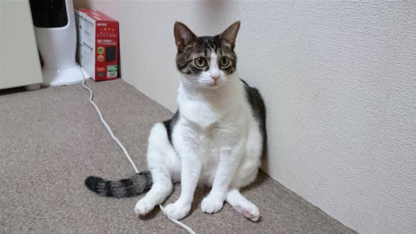 スコ座り(おじさん座り)をしている愛猫ミミ