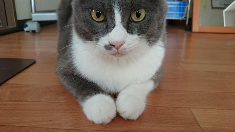 前足を伸ばさないスフィンクス座りをしている愛猫モコ