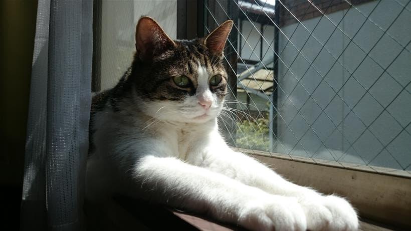 ちょっと前のめりぎみのスフィンクス座り中の愛猫ミミ