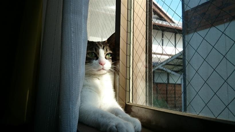 窓際で夕日に当たりながらスフィンクス座りしている愛猫ミミ