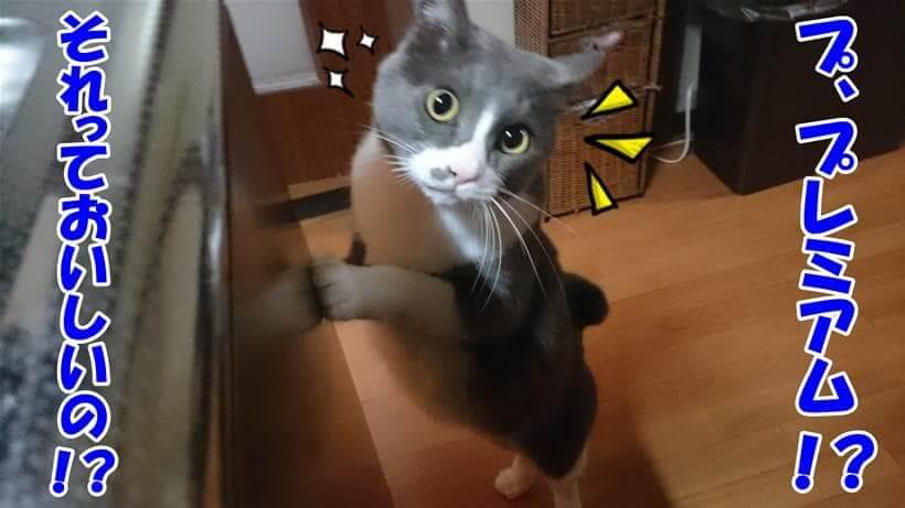 プレミアムキャットフードに興味津々な体の愛猫モコ