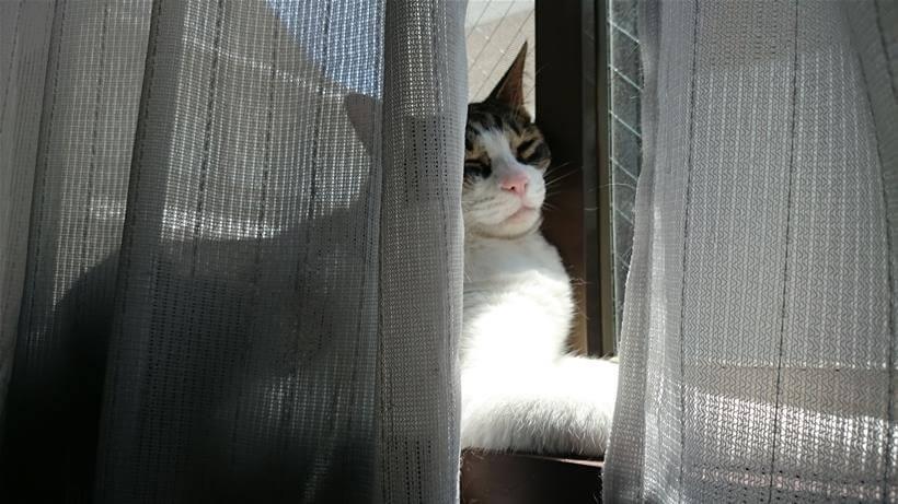 スフィンクス座りをしながら顔を窓にもたれかけて寝ている愛猫ミミ