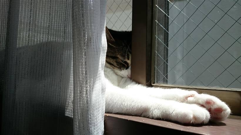 窓のサッシに顔を埋めてスフィンクス座りして寝ている愛猫ミミ