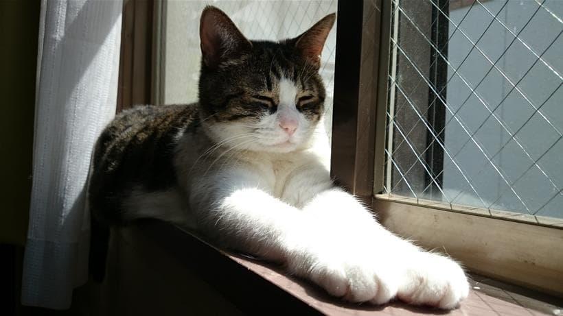 スフィンクス座りをしながら眠っている愛猫ミミ