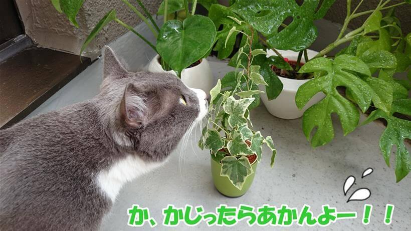 観葉植物の匂いを嗅ぐ愛猫モコ