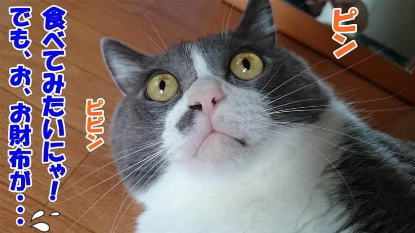プレミアムキャットフードを食べてみたいが価格を心配する愛猫モコ