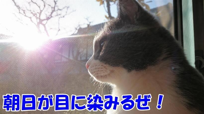 猫の腎臓病に一筋の光、朝日が目に染みると言っている体の愛猫モコ