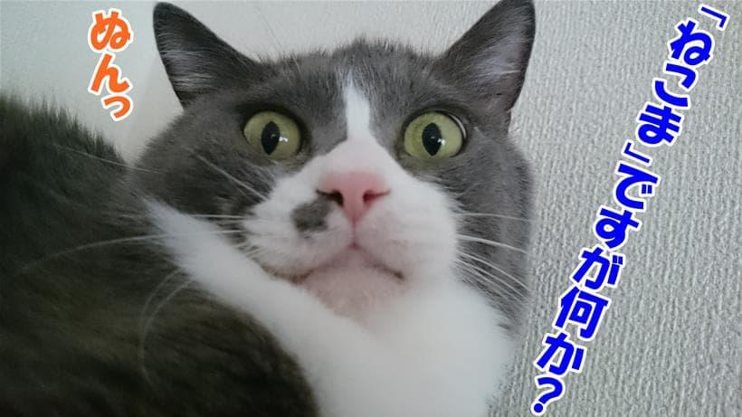 猫の語源のひとつ「ねこま」をさっそく取り入れいている体の愛猫モコ
