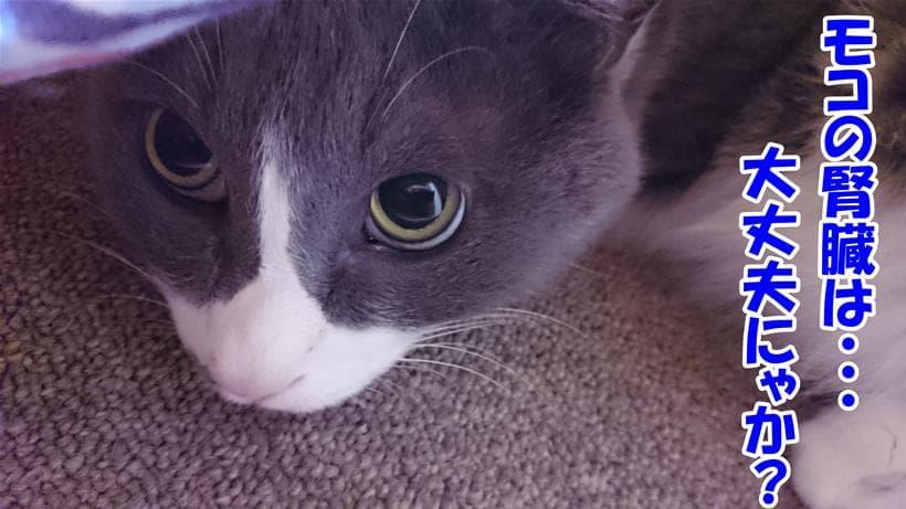 自分の腎臓が大丈夫なのか不安に思う体の愛猫モコ