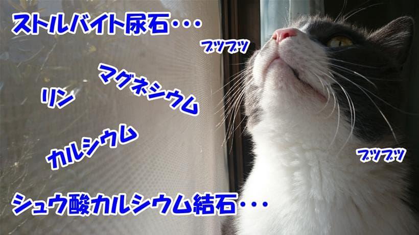 尿路結石に関連する用語をブツブツ唱えている体の愛猫モコ