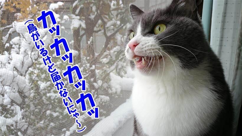 鳥を見てクラッキングしている愛猫モコ