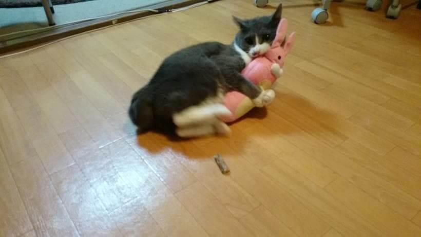 蹴りぐるみを激しく蹴ってストレスを発散させている愛猫モコ