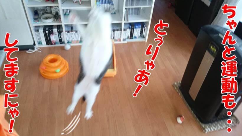 運動している(おもちゃで遊んでいる)愛猫ミミ