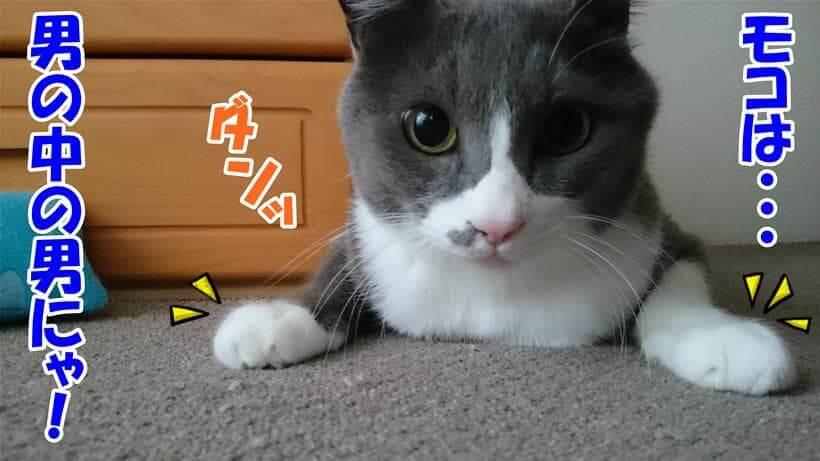 尿結石はオスの方がなりやすいと聴いて真っ向勝負を挑む体の愛猫モコ